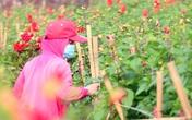 Rẻ bằng 1/3 so với trước Tết, nông dân rớt nước mắt nhìn ruộng hoa nở rộ