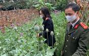 Thanh niên tự gieo trồng, chăm sóc vườn anh túc, cần sa khủng gần 3.000 cây