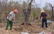 Dân trồng đào tất bật thu gom cây về trồng chuẩn bị mùa Tết năm sau