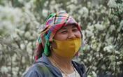 Xuống Hà Nội bán hoa lê, người dân tộc thiểu số thu nhẹ nhàng mỗi ngày 30 triệu đồng