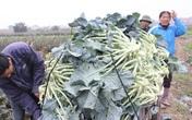 1.000 đồng/kg không ai mua, nghìn tấn ế đầy đồng, dân Mê Linh kêu cứu