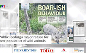 Nhiều vụ lợn rừng tấn công người trong khu dân cư tại Singapore