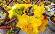Hơn 10.000 cây mai giảo thuần chậu được nhà vườn bán giá gốc