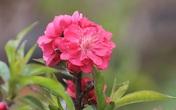 Đầu năm Tân Sửu ngắm hoa đào đẹp độc nhất vô nhị, rước tài lộc về gia đình
