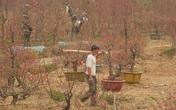 Dân trồng đào lo ngay ngáy vì đã cận Tết mà đào vẫn còn đỏ rực đầy vườn