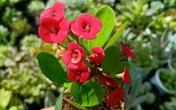 10 loại cây cảnh đẹp nhưng có độc, bạn cần cân nhắc kỹ lưỡng trước khi trồng trong nhà