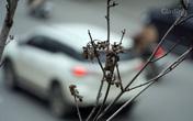 Trồng cây phong lá đỏ ở tuyến đường đẹp nhất nhì Thủ đô là không phù hợp?