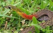 """Bé gái tử vong vì """"rắn học trò"""": Nhiều người vẫn nuôi chơi"""