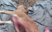 Bò chết hàng loạt, trong bụng chứa đầy rác thải