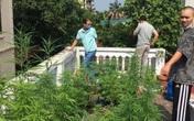 Vườn cần sa trên nóc một ngôi nhà ở Hà Nội