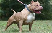 Chó pitbull cắn chết người, chủ nuôi có bị xử lý hình sự?