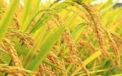 Thâm cung bí sử (234 - 3): Hương lúa Thái Bình