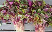 Loại rau được coi là 'món ăn trường thọ' mọc đầy vào mùa hè, giá rẻ, đừng bỏ qua