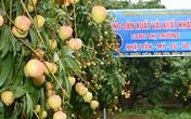 """Vải sớm Bắc Giang vận chuyển bằng máy bay giá 35.000/kg """"cháy hàng"""" ở Sài Gòn"""