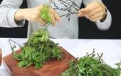 Bất ngờ 7 công dụng chữa bệnh của lá đinh lăng và những tác dụng phụ không mong muốn