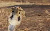 Nam sinh lớp 2 bị rắn cắn tử vong