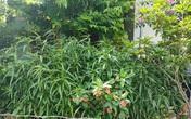 Trồng cả trăm cây cần sa trong vườn nhà