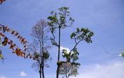 Trèo cây cao 20 m hái hạt ươi, thanh niên 17 tuổi tử vong