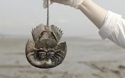 Loài hải sản đắt đỏ ở Việt Nam tiến gần đến tuyệt chủng vì máu của nó có giá trên trời lại vẫn đang liên tục nhảy vọt