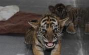 Hình ảnh đáng yêu của 7 hổ con Đông Dương sau 10 ngày được giải cứu