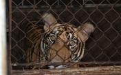 """9 con hổ còn sống sau """"giải cứu"""" hiện giờ ra sao?"""