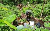 Bắt giam nhiều đối tượng liên quan đến vụ tàn phá rừng nghiến cổ thụ ở Hà Giang