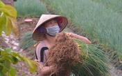 Bị ảnh hưởng bởi dịch, hàng loạt nông dân làng hoa Tây Tựu chuyển sang canh tác rau