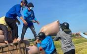 Đoàn viên thanh niên Hà Tĩnh vừa phòng dịch vừa giúp dân thu hoạch lúa