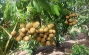Nhãn quê chỉ 10.000 đồng/kg, chủ vườn khóc, người dân tranh thủ mua nhiều