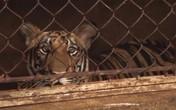 8/17 con hổ được 'giải cứu' đã chết: 9 con còn lại hiện thế nào?