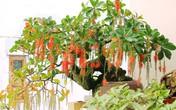 Cách trồng cây lộc vừng trong chậu tại nhà hợp phong thủy