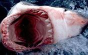 Cá mập trắng vồ cặp vợ chồng trong lồng sắt