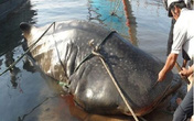 Dân chài Nghệ An đau đầu vì cá khổng lồ