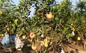 Hà Nội: Rộ mốt chơi cây ngũ quả có giá nghìn đô dịp Tết