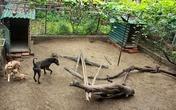 Trang trại chó Phú Quốc bạc tỷ ở Hà thành