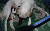 Mèo con bú sữa chó mẹ