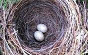 """Ăn trứng chim sẻ làm khỏe """"tinh binh"""""""