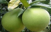Những công dụng chữa bệnh ít người biết về trái bưởi