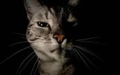 Kinh hoàng mèo ăn thịt... chủ