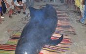 Cá voi nặng gần 1 tấn bên bờ biển Quảng Nam