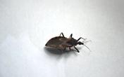 Quảng Bình: Phát hiện bọ xít hút máu người