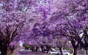 Phượng tím đẹp mê hồn trên đất nước Australia
