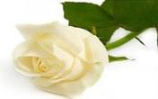 Băng cướp Bông hồng trắng của 5 nữ quái