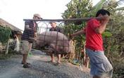 Thương lái Trung Quốc ồ ạt gom lợn mỡ làm bánh trung thu?
