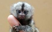 200 triệu đồng một chú khỉ tí hon biết 'buôn dưa lê'