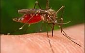 Cận cảnh muỗi đốt và hút máu vật chủ