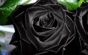 Vẻ đẹp bí ẩn của loài hoa hồng đen trong truyền thuyết