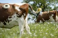 Vì sao những con bò trong trang trại bị đục một lỗ to trên thân mà không chết?