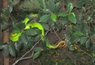 Đã có huyết thanh kháng độc nọc rắn lục đuôi đỏ