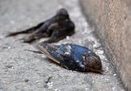 Xác chim phóng sinh la liệt trước cổng chùa ngày rằm